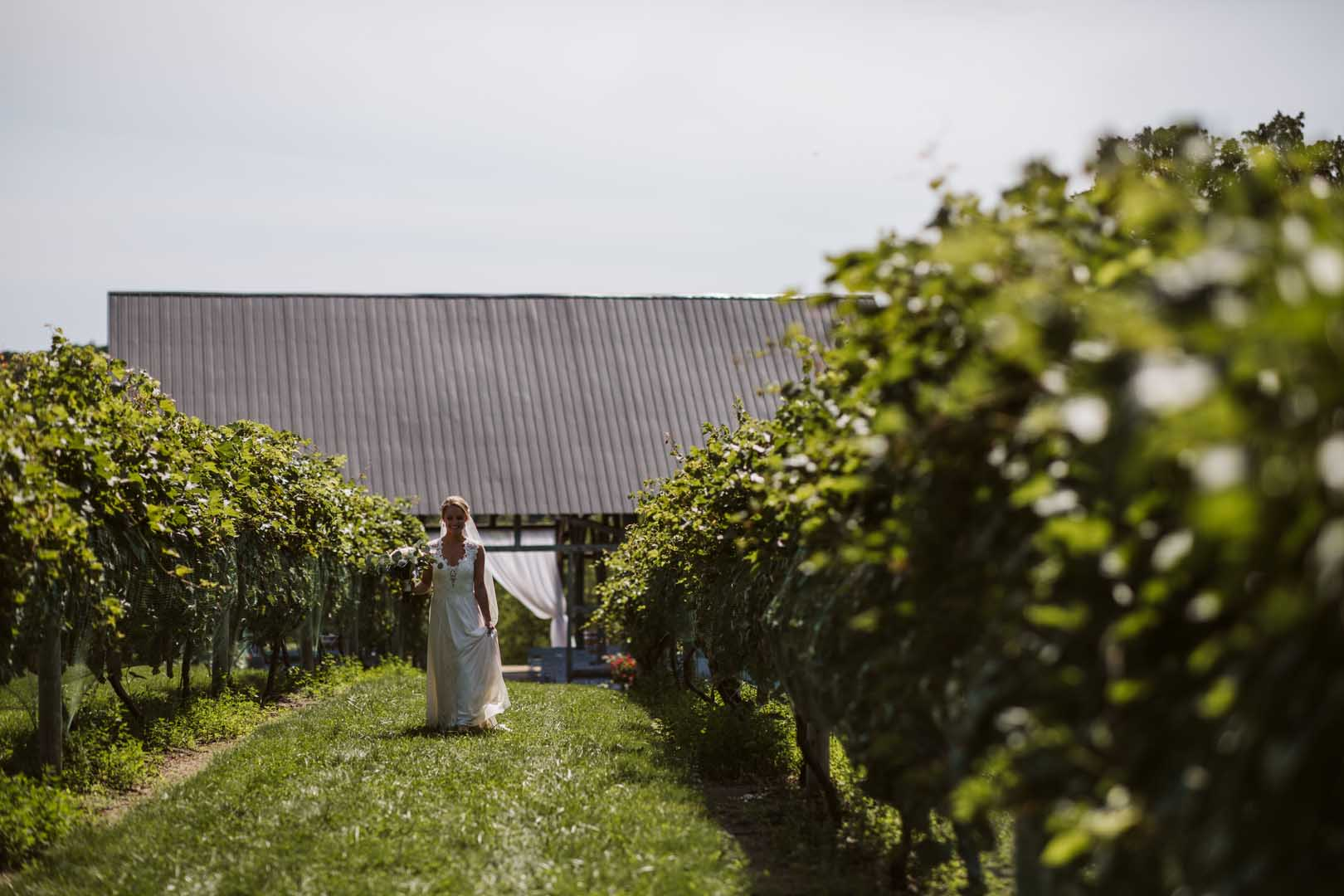 Bride in a white dress walking through rows of grape vines